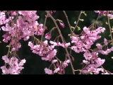 Цветение сакуры. Secret Garden - Apassionata. Муз. фрагмент из альбома Дханвантари