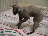Мистер Патрик (Корниш рекс) прикол с котом ржака смешное видео - 21.12.12г.[[163997027]]