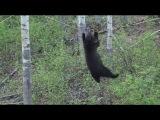 Медведь-альпинист проголодался
