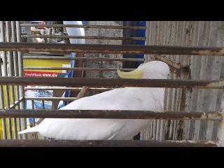 Говорящий попугай. Тайланд. о.Ко Чанг