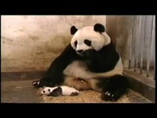 Чихающий Панда!!! - прикол!
