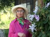 Посадка клематисов и уход за цветами