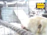 Собачьи бои Алабай против волка