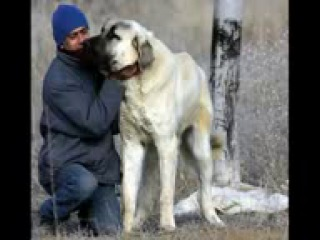 Russian_kangal_vs_Englishe_mastiff-space