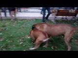 Собачьи бои стаффорд vs тоса-ину