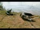 Укротители аллигаторов И на старуху бывает проруха