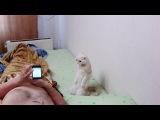 Кошка слушает гимн России)