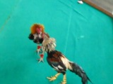 Петушиный бой