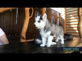 Щенок из питомника Haski-Villa по имени Мишка :)