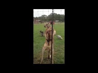 То чувство когда кенгуру накачен больше чем ты