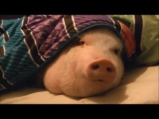 мой ласковый и нежный свин