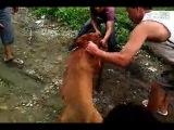 Собачьи бои матч питбуль 24 кг vs питбуль 37 кг