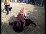 собачьи бои алабай