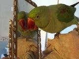 Моя курочка))Александрийский попугай.