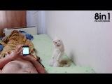 Патриотичная кошка Марго встаёт при исполнении гимна России / Patriotic Russian Cat Stands To Attention For National Anthem