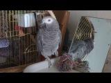 Павличек- говорящий попугай