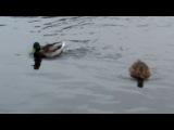 Осень утки на пруду - копия.( Музыкальный Клип.) новинка.супер клип 2014г