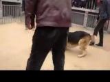 Собачьи бои питбуль vs немецкая овчарка