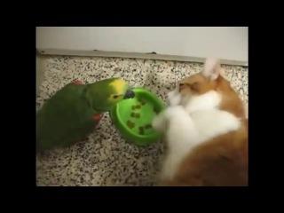 Попугай хамит за завтраком коту и получает за это сполна))