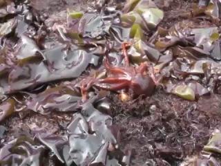 Прогулка осьминога по Земле