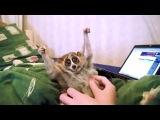 Лемуры Лори - самые милые и ленивые животные в мире