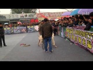 Собачьи бои Гуль донг VS Алабай 2