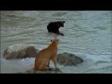 Медвежонок против пумы....
