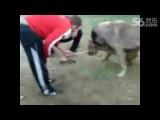 Собачьи бои питбуль vs кангал/(КВ)