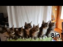 7 котят синхронно крутят головами  7 kittens are synchronized