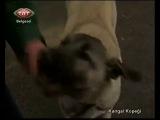 Kangal Köpeklerinin İnanılmaz Özellikleri