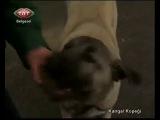 Kangal Köpeklerinin Muhteşem Özellikleri