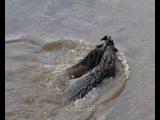 Нильский крокодил убивает ослабленную антилопу гну