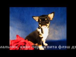 щенки чихуахуа (голубой папа х черная мама)