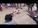 Петушиный бой, Доминикана