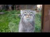 Манул самая няшная котяра на свете!