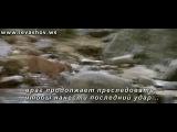 kzwap.ru_Нападение_пумы_на_медвежонка