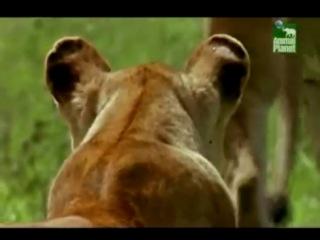 Захват львиного прайда молодыми львами.