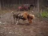 Собачьи бои тибетский мастифф vs САО(КВ)