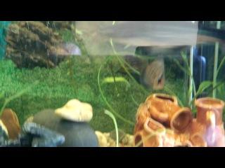 аквариум акулий сом