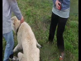 жестокое нападение собаки на людей, зверское убийство (слабонервным не смотреть)