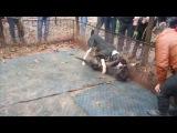 Собачьи бои канарский дог vs САО