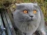 Смешное видео.КОТ - КУЗЯ ГАД )))(разговаривающий кот Кузя)  - [[163959796]]