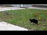 Köpeğin Gururuyla Oynayan Kedi