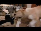 12. Праздник для пушистых щенков. Питбуль, Колли и Китайская хохлатая