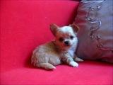 Палевый щенок чихуахуа