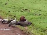 Гиены выследили и убили беременную самку антилопы Гну