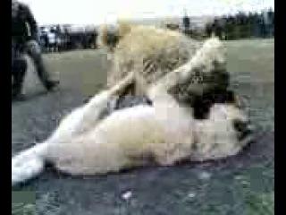 Сабачи Бой 2012 й туркмен ва руские