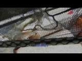 Наша рыбалка. Хищник неспортивно.
