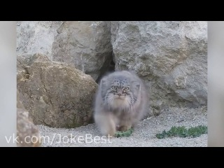 Видео пещерный кот