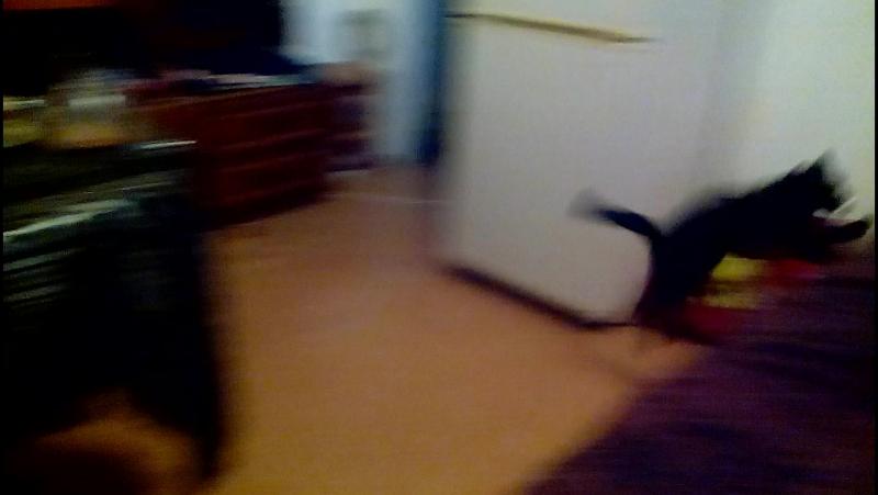 Кошкак как собака только с мячеком!